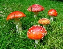 Cinco cogumelos do agaric de mosca Imagens de Stock Royalty Free