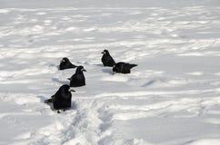 Cinco cuervos en la nieve blanca fotos de archivo