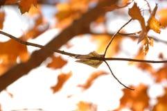 Cinco dólares Bill Clinging como uma folha de uma árvore com folhas de bordo fotos de stock