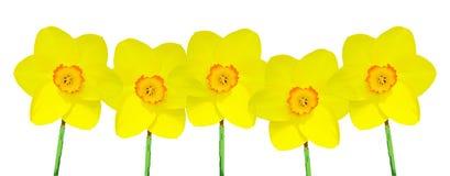 Cinco Daffodils amarelos Fotos de Stock Royalty Free