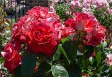 Cinco de Mayo Floribunda-Rosen San Jose Rose Garden, San Jose, Ca Stockfotos