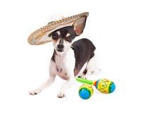 Cinco De Mayo Mexican Chihuahua Lizenzfreie Stockfotos