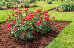 `Cinco de Mayo` rose blooms in a mulched flower bed. The red and orange rose `Cinco de Mayo` blooms in a mulched flower bed as part of a larger rose garden stock image