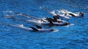 Cinco delfínes de bottlenose que nadan fotos de archivo