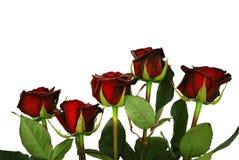 Cinco escura rosas vermelhas Fotos de Stock Royalty Free