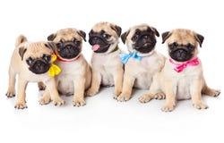 Cinco filhotes de cachorro do pug Imagem de Stock