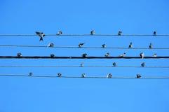 cinco fios do poserline criam a pauta musical com os swallos Foto de Stock Royalty Free