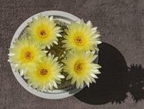Cinco flores amarelas escuras do cacto da bola imagens de stock