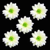 Cinco flores da margarida imagem de stock royalty free