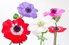 Cinco flores de la anémona Fotos de archivo