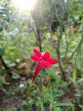Cinco flores de Rosa da estrela imagem de stock