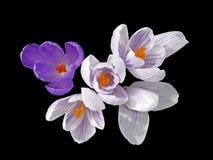 Cinco flores do açafrão isoladas no preto Imagens de Stock
