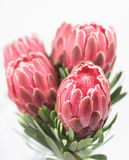 Cinco flores vermelhas do protea Fotografia de Stock