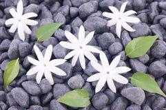 Cinco flores y hojas blancas del jazmín sobre fondo de los ZENES Stone Imagen de archivo libre de regalías