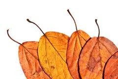 Cinco folhas pintadas em cores brilhantes do outono Fotografia de Stock Royalty Free