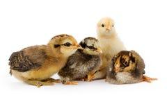 Cinco galinhas do bebê do bebê isoladas no branco Foto de Stock