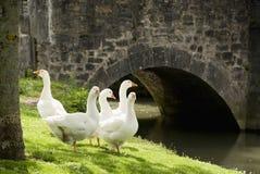 Cinco gansos en hierba fotografía de archivo libre de regalías