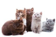 Cinco gatinhos bonitos do brititsh Fotos de Stock