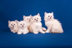 Cinco gatinhos do disfarce de Neva no fundo azul Imagem de Stock Royalty Free