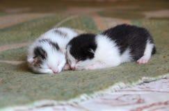 Cinco gatinhos velhos do bebê dos dias Fotos de Stock Royalty Free