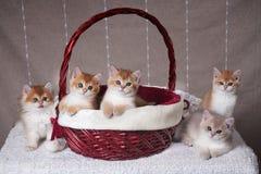 Cinco gatitos de la raza Shorthair británico se sientan en la cesta de la Navidad y siguiente imagen de archivo