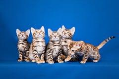 Cinco gatos de Bengala en fondo azul Imágenes de archivo libres de regalías