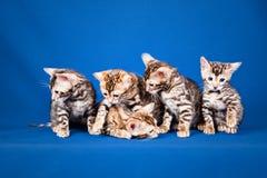 Cinco gatos de Bengala en fondo azul Imagen de archivo libre de regalías