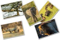 Cinco grandes africanos foto de archivo libre de regalías