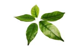 Cinco hojas del árbol Fotografía de archivo