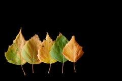 Cinco hojas del abedul del otoño en negro Foto de archivo libre de regalías