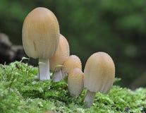 Cinco hongos del casquillo de la tinta que relucir Fotos de archivo