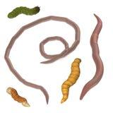 Cinco insectos del gusano stock de ilustración