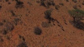 Cinco jirafas funcionadas con a través de la sabana almacen de metraje de vídeo