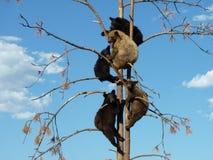 Cinco osos jovenes en un árbol imagen de archivo