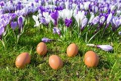 Cinco ovos fracos que encontram-se perto dos açafrões de florescência Fotografia de Stock