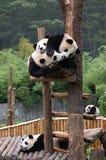 Cinco pandas Imagens de Stock