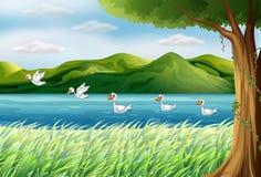 Cinco patos en el río Fotografía de archivo