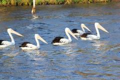 Cinco pelícanos salvajes que nadan el río, Australia occidental Fotografía de archivo libre de regalías