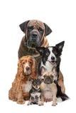 Cinco perros Fotografía de archivo libre de regalías