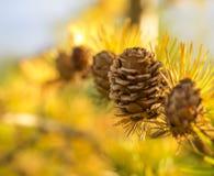 Cinco pinos o conos jovenes de la piel en fila con las agujas del pino amarillo Imagenes de archivo