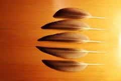 Cinco pluma-plumas del pato (platyrhynchos de las anecdotarios) imagenes de archivo