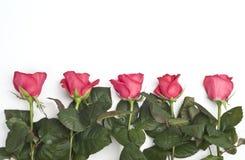 Cinco rosas Fotos de archivo libres de regalías