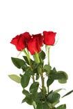 Cinco rosas vermelhas frescas no fundo branco, fim acima Imagem de Stock Royalty Free