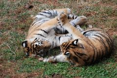 Cinco tigres elevados Imagem de Stock Royalty Free