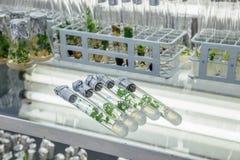 Cinco tubos de ensayo con Microplants del abedul carelio reproducido con medio nutritivo Fotos de archivo