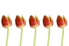 Cinco tulipanes Fotos de archivo libres de regalías