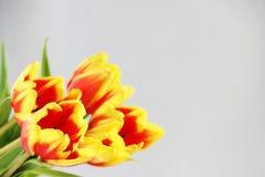 cinco tulipas vermelhas com listras amarelas em um fundo branco Imagem de Stock
