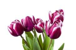 Cinco tulips imagens de stock royalty free