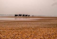 Cinco vacas y un hombre Foto de archivo libre de regalías