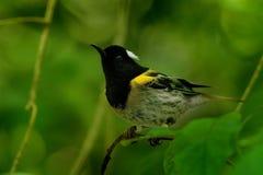 Cincta de Notiomystis - Stitchbird - Hihi imagenes de archivo